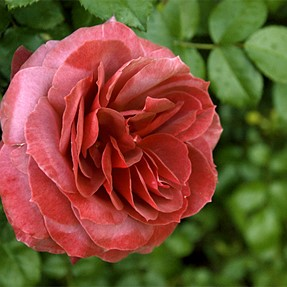 A rose of any color