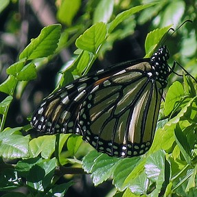 Monarch Butterfly with ELPH 330HS