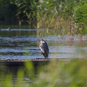 Sigma 150-600 Sport and a grey heron