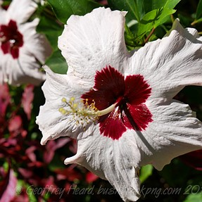 A hibiscus or seven!