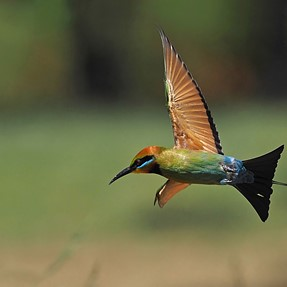 Rainbow Bee-eaters (natures perfect birds)