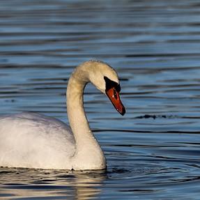 Conn. River swans