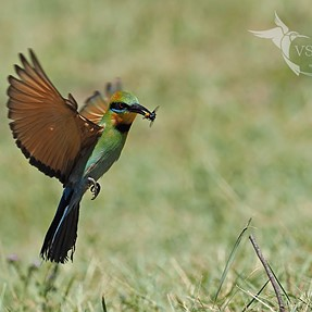 Bee-eaters in Action! (Image heavy)