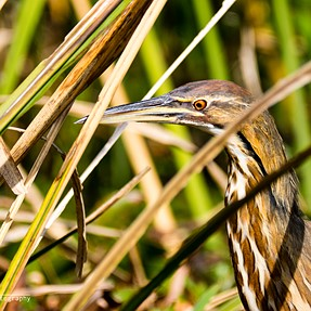 EM1 with my 100-400 - An American Bittern Close-UP