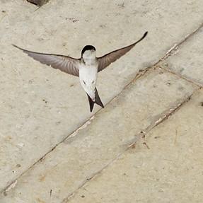 House Martins in flight