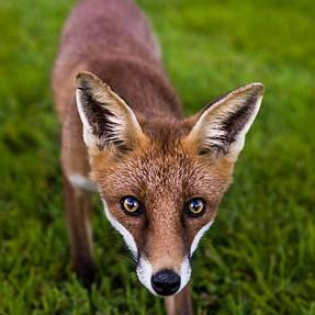 Something Foxy!