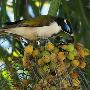 Blue-faced Honeyeaters