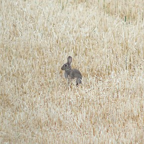 Rabbit from 1/4 mile away