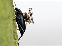 Researchers craft tiny wireless camera that can be attached to beetles