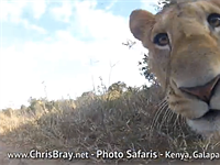 Lion attempts to snack on GoPro camera