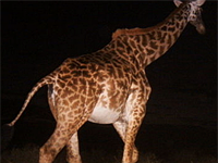 Snapshot Serengeti crowdsourcing zoology with remote cameras