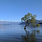 Tourists are destroying New Zealand's iconic Lake Wanaka tree for Instagram photos