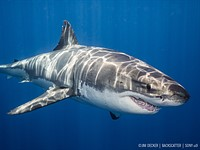 Sony a9 underwater review: Shooting great white sharks