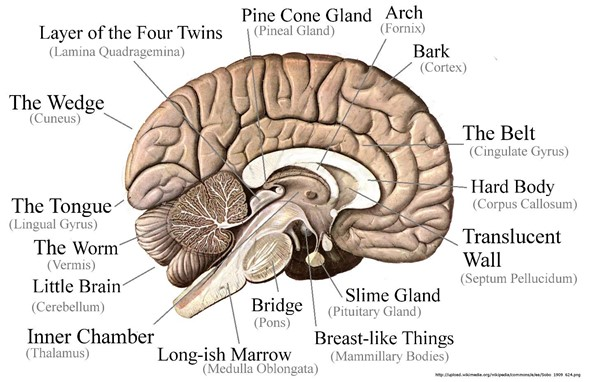 Parts of the brain and their functions Flashcards  Quizlet