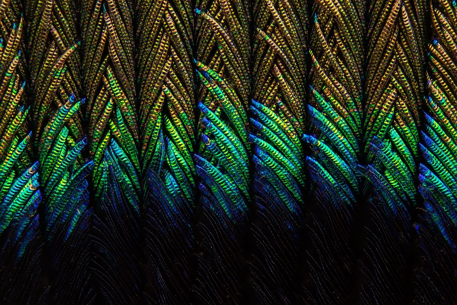 Incredible microscopic close-ups of a peacock feather