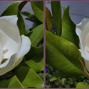 Magnolia & other flowers (cross-eyes)
