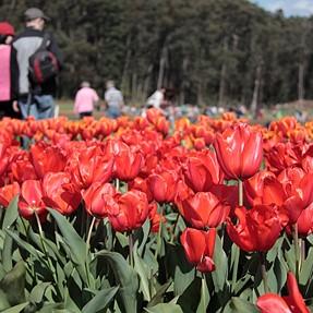 Spring Time-Teselaar Tulip Festival