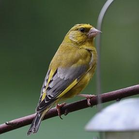 D750 greenfinch.
