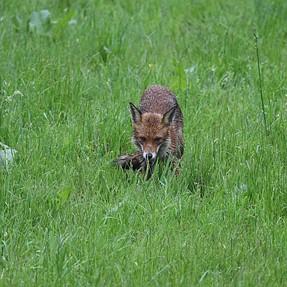 Fox in my paddock.