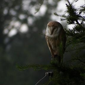 Wet Barn Owl
