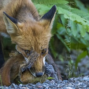 Red Fox with 3 Red Squirrels