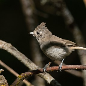 Titmouse, Bushtit and Gray-throated Flycatcher