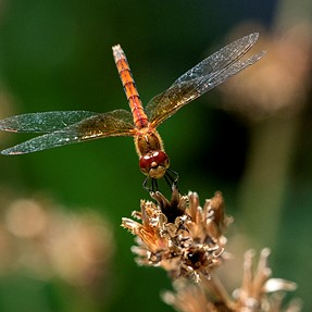 Lunchtime Dragonfly