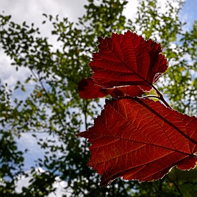 CPA | Summer leaves with halo around leafs