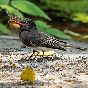 Black Phoebe with a Flame skimmer