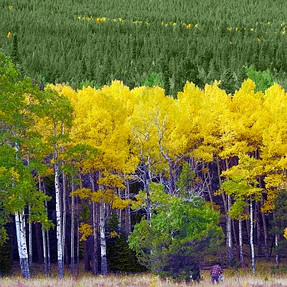 Aspens are changing in Rocky Mountain National Park