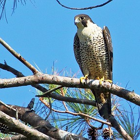 Hawk migration and more
