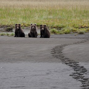 Grizzly Bear pics from recent trip to Alaska