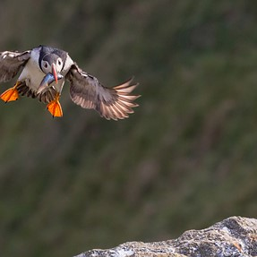 Puffins in Norway