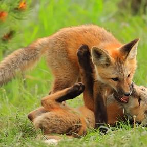 Red Fox Hijinks