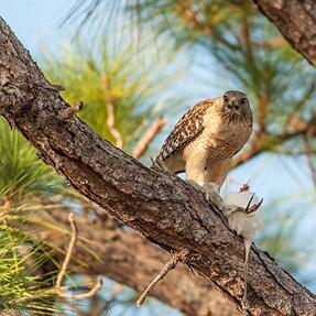 Red-shouldered hawk with pray (ibis)