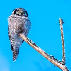 Northern hawk-owl meet DFA 150-450