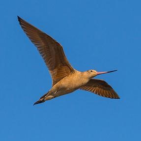 Marbled Godwit in Flight, Arcata Marsh, CA