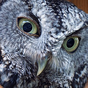 Close up of our resident Eastern Screech Owl - 'Harriet'