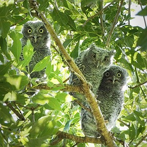 Our baby owls have fledged (except for one)!
