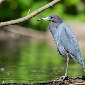 Little Blue Heron- Sharper
