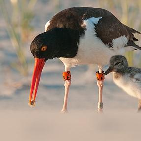 Oystercatcher feeding chick