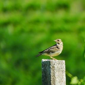 Small Vineyard Avians