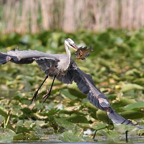 Heron Fishing Technique
