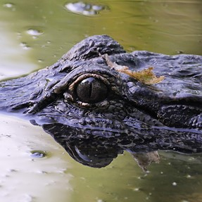 New Orleans gator photo with Panasonic 100-400mm handheld