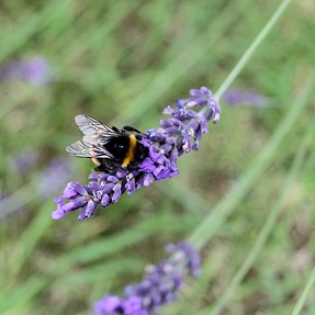550D + EFS 24: Bumble Bee on Lavender