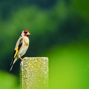 Flashy Singer - Goldfinch (Carduelis carduelis)