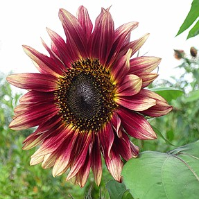 Nature is sublime drawing a sunflower.