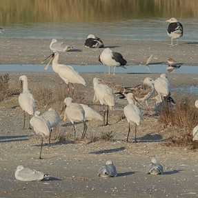 The spoonbill revisited..
