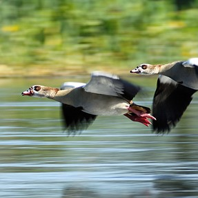 Panning for Geese