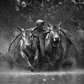 Bullracing (action photo in black and white)